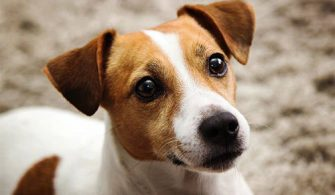Hearing Loss in Dogs (Deaf Dog)